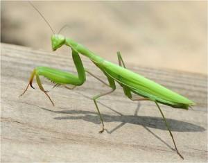 104-Imadkozo-saska--Mantis-religiosa-